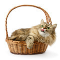Beautiful cat in basket isolated on white - PhotoDune Item for Sale
