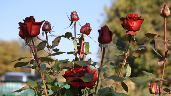 Beautiful Burgundy Roses Swaying in The Wind