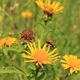 Ladybird And Yellow Flower