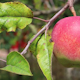 Red Ripe Apple On A Branch With Green Leaves 1