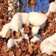 Yellow Oak Leaves Under Snow 2 - VideoHive Item for Sale