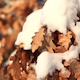 Yellow Oak Leaves Under Snow 3 - VideoHive Item for Sale