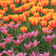 Tulips 12 - VideoHive Item for Sale