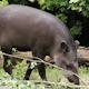 South American Tapir (Tapirus Terrestris) - VideoHive Item for Sale