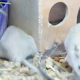 White Rats - VideoHive Item for Sale
