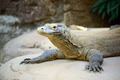 Komodo dragon - PhotoDune Item for Sale