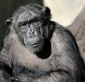 Chimpanzee portrait - PhotoDune Item for Sale