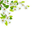 Blossoming tree brunch with spring flowers.  - PhotoDune Item for Sale