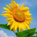 sunflower on a background of blue sky - PhotoDune Item for Sale