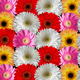 Multicolored Gerber Daisies Consistently Lying to Each Other - PhotoDune Item for Sale