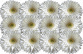 White Heads Gerber Daisies Consistently Lying to Each Other - PhotoDune Item for Sale