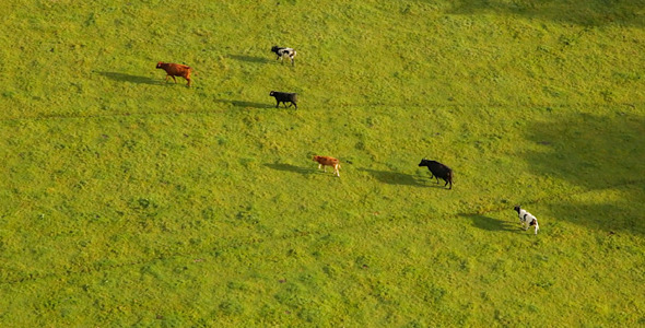 Cows Walking in Field Aerial Footage in England