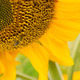 Honey Bee Pollinating Farm Sunflower Plant - PhotoDune Item for Sale