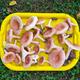 tray full of mushrooms ( Lactarius torminosus) on grass - PhotoDune Item for Sale
