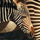 Zebra Foal By Its Mother - VideoHive Item for Sale