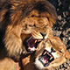 Lions Mating In The Sun - VideoHive Item for Sale