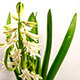 Growing White Hyacinth Christmas Flower - VideoHive Item for Sale