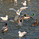 Ducks Startle Seagulls In Water - VideoHive Item for Sale