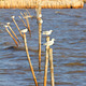 Seagulls standing on a wooden post - PhotoDune Item for Sale