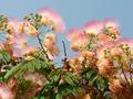 Flowering silk tree - PhotoDune Item for Sale