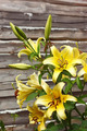Blooming yellow lilies - PhotoDune Item for Sale
