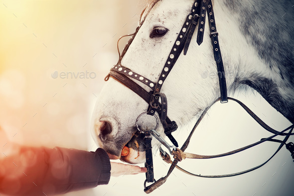 Feeding of a white horse carrots.