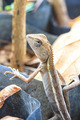 Green crested lizard - PhotoDune Item for Sale