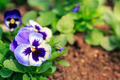 pansy viola flower - PhotoDune Item for Sale