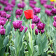 garden with purple and one red tulip flower - PhotoDune Item for Sale