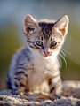 Striped Small kitten - PhotoDune Item for Sale