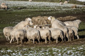 Winter Sheep Feeding - PhotoDune Item for Sale