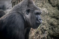 huge and powerful gorilla, natural environment - PhotoDune Item for Sale