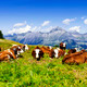 Alpine cows - PhotoDune Item for Sale