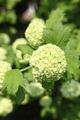Snowball bush - PhotoDune Item for Sale