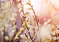 Fluffy branches of a willow - PhotoDune Item for Sale