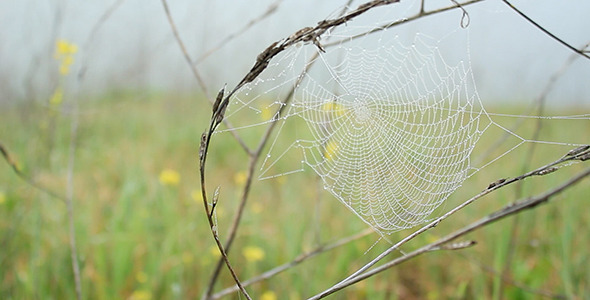 VideoHive Dewy Spiderweb Sways in Wildflower Meadow 10546798