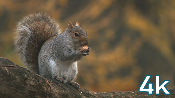 VideoHive Squirrel 10547418