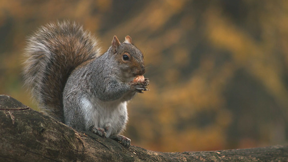 VideoHive Squirrel 10547420