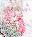 Pink Snapdragons Watercolor - PhotoDune Item for Sale