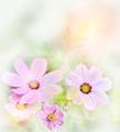 Cosmos Flowers - PhotoDune Item for Sale