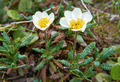 Flower Dryas punctata in natural tundra environment - PhotoDune Item for Sale