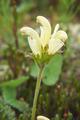Flower capitate lousewort - Pedicularis capitata in natural tund - PhotoDune Item for Sale