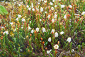 Flower Arctic bell-heather - Cassiope tetragona in natural tundr - PhotoDune Item for Sale