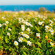 Field of camomile, Portugal - PhotoDune Item for Sale