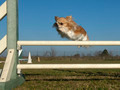 jumping chihuahua - PhotoDune Item for Sale
