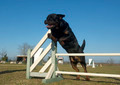 jumping rottweiler - PhotoDune Item for Sale