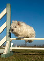 jumping westie - PhotoDune Item for Sale
