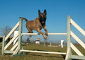 jumping malinois - PhotoDune Item for Sale