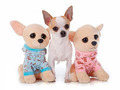 young chihuahua and toy - PhotoDune Item for Sale