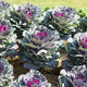 Ornamental cabbage in a garden - PhotoDune Item for Sale
